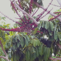 Three foot+ blossoms  What? Name this tree please