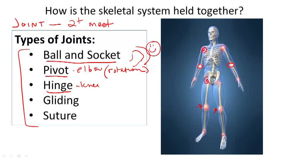 human skeletal system essay Skeletal system and the muscular system almost all the hard parts of human body are components of human skeletal system more essay examples on human.