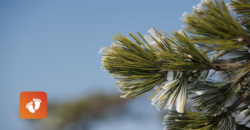 Baby steps pine
