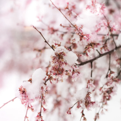 Cherry blossoms with snow