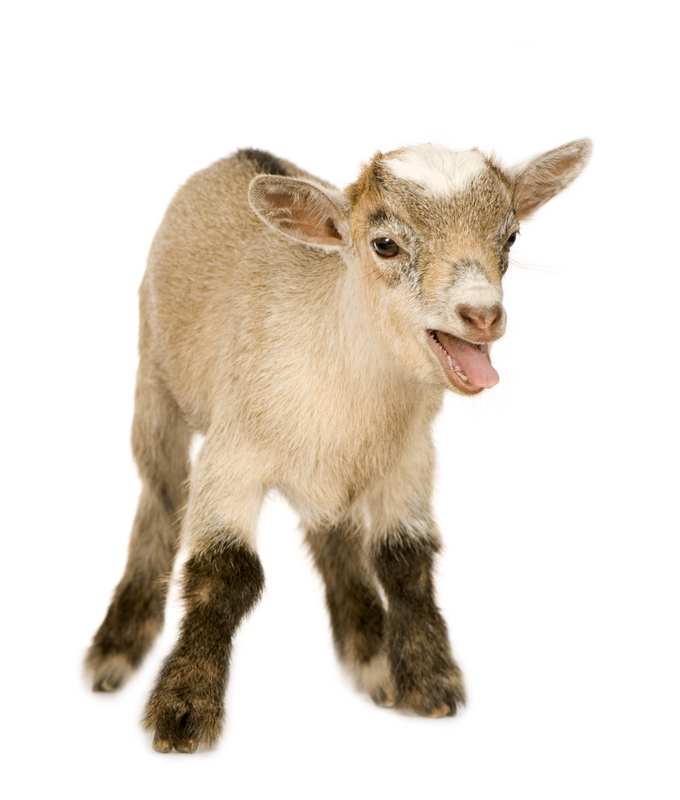 The Stages of Pygmy Goat Pregnancy
