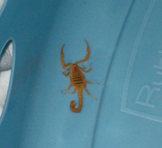 Scorpions identification guide – Usha Jaganath Law Series