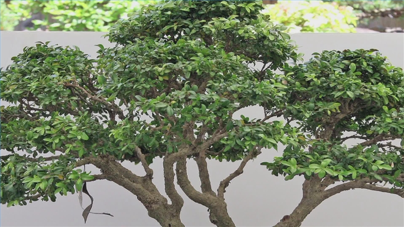 ... Garden Design With Video: Types Of Boxwood Plants With Diy Garden From  Ehow.com