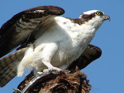 & Raquo; Etimología de algunos nombres de aves Maine Birds
