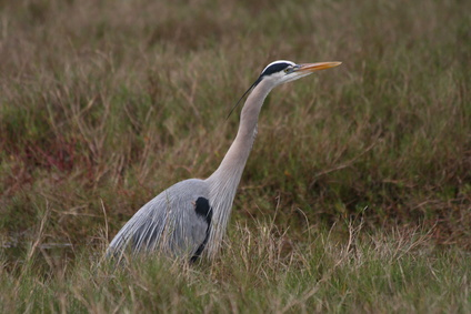 The great blue heron has a long bill