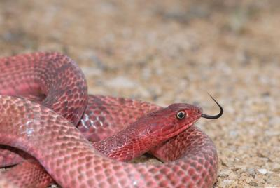 Snake hunting in texas gone outdoors your adventure awaits for Texas non game fish
