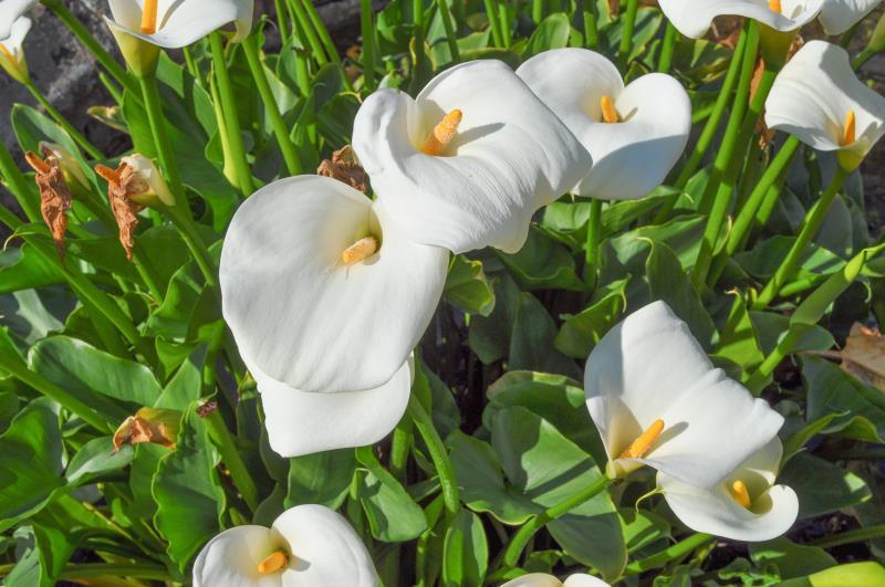 Alaska Hardy & reg; | Catálogo de plantas