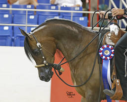 American Cup Championship Arabian Horse Show