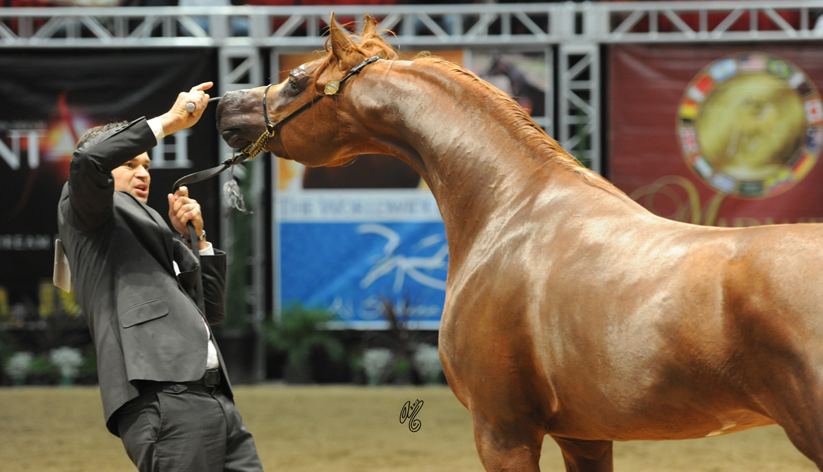 Gold Junior Stallion Titan AS (El Nabila B X OM El Beladeena)