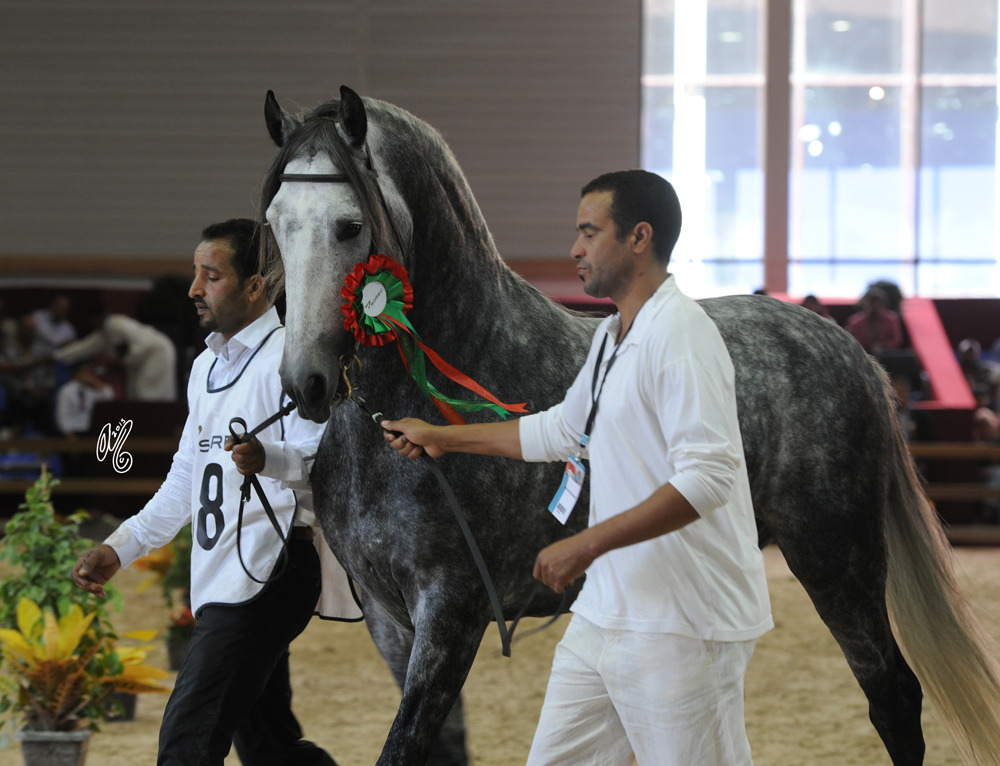Competition: The International Barb Horse Championship