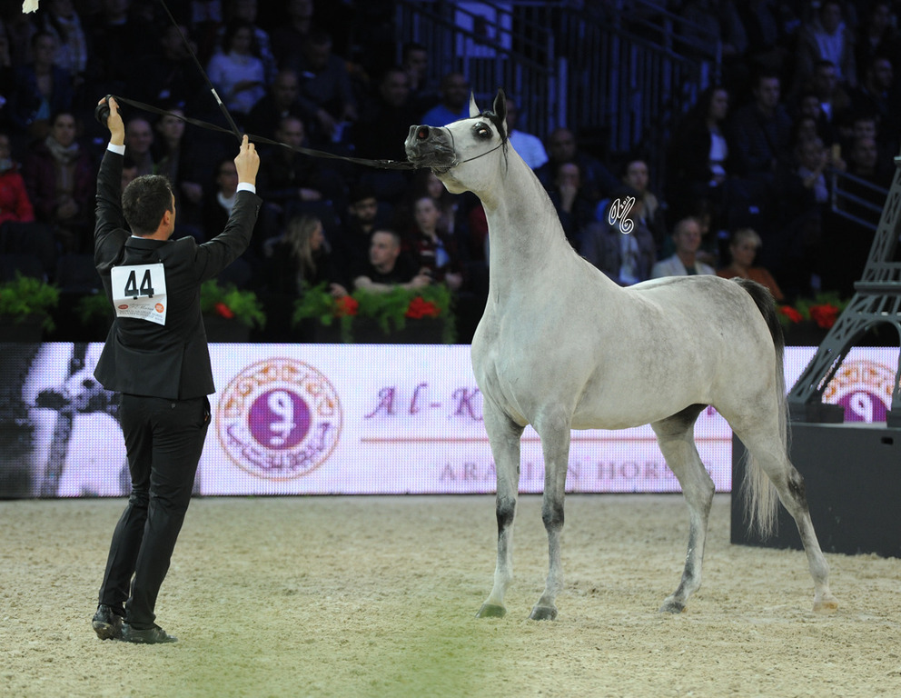 Junior Mare Gold Champion D Shahla (Marajj X FT Shaella)