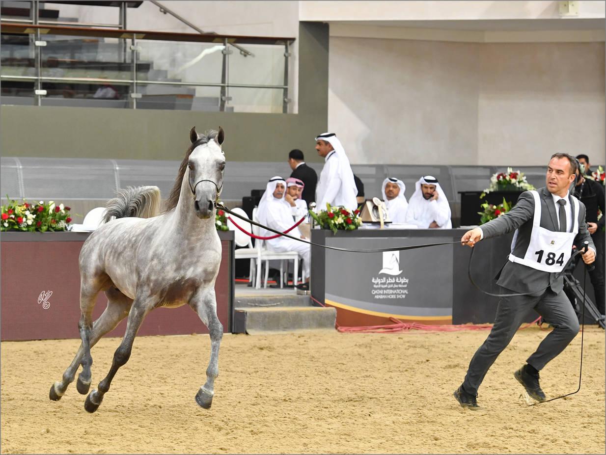 Colt Silver Champion Moaid Al Shaqab (Fadi Al Shaqab X Hadeel Al Shaqab)