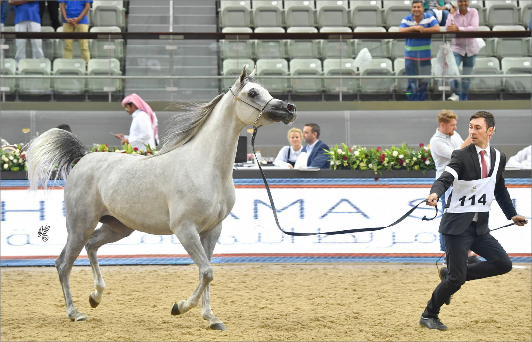 Filly Gold Champion Malikat Al Moluk (Mameluck X Asalat Al Hala)