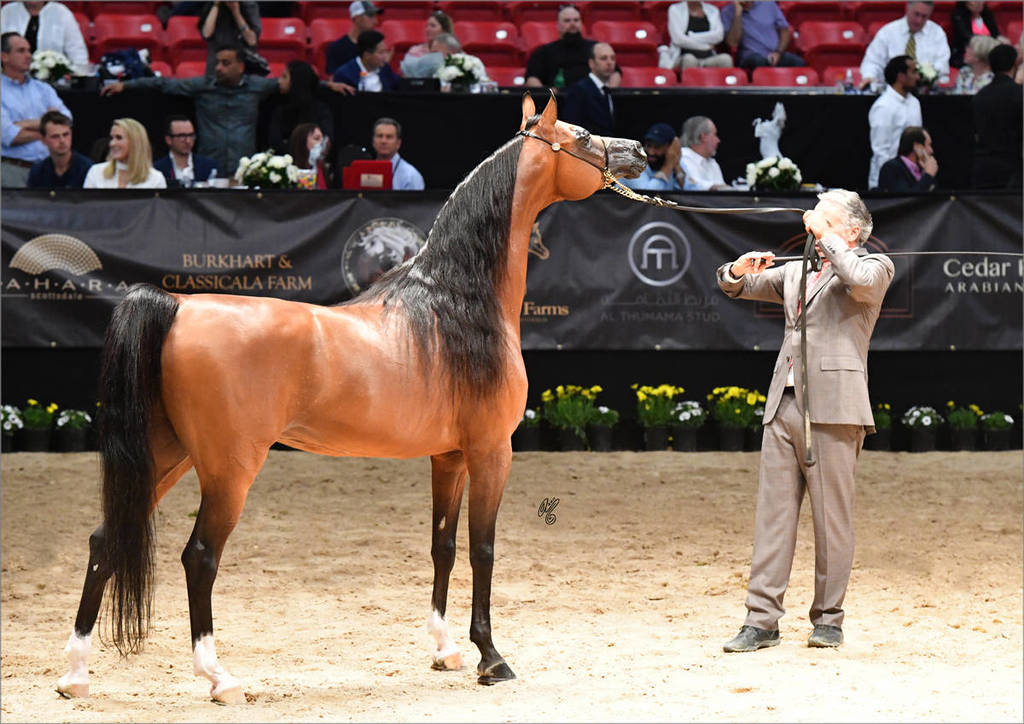 Michael Byatt with Senior Stallion Gold  Champion Fadi Al Shaqab (Besson Carol X Abha Myra)