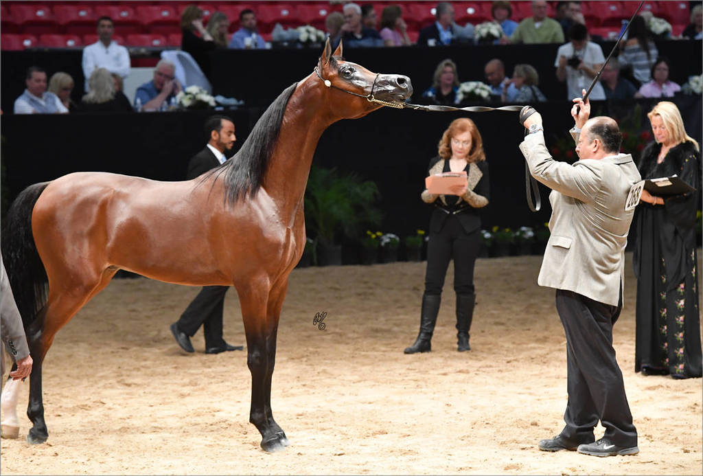 Junior Stallion Gold Champion Royal Asad (El Tino X Luminar Ethna) DSC_2715