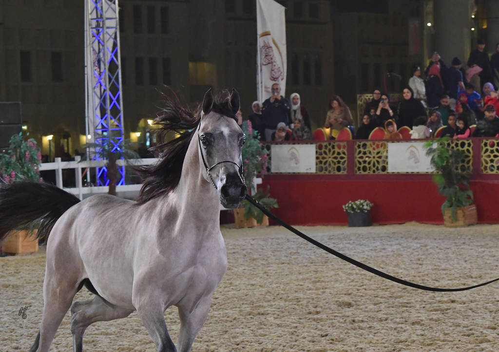 Open Junior Colt Bronze Champion: Aqil Al Shaqab (SMA Magic One X Faten Al Shaqab)