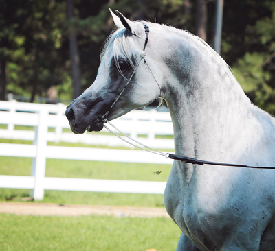 Arabian Stallion Service Auction