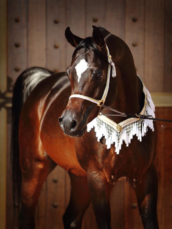 Royal Colours :: Dubai Arabian Horse Stud | 656 x 875 jpeg 168kB