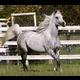 Bint Bint Sayo as she looked after foaling Sahran