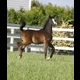 Majeed SMF by Ali Saroukh her first foal