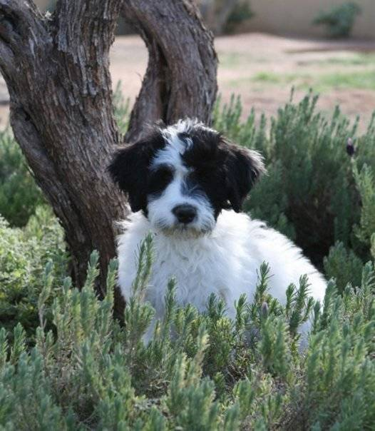 Oliver as a puppy in the lavender garden