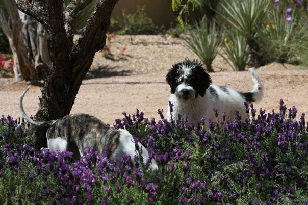 Oliver and Tillie looking for frogs in the lavender garden