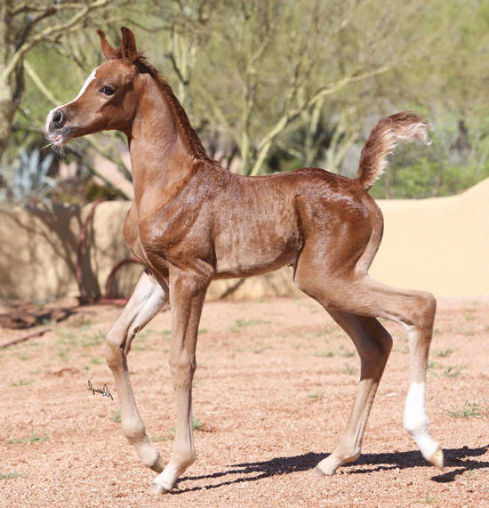 Penelope Bey as a weanling