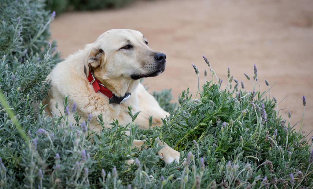 Delta loves the lavender flower beds!