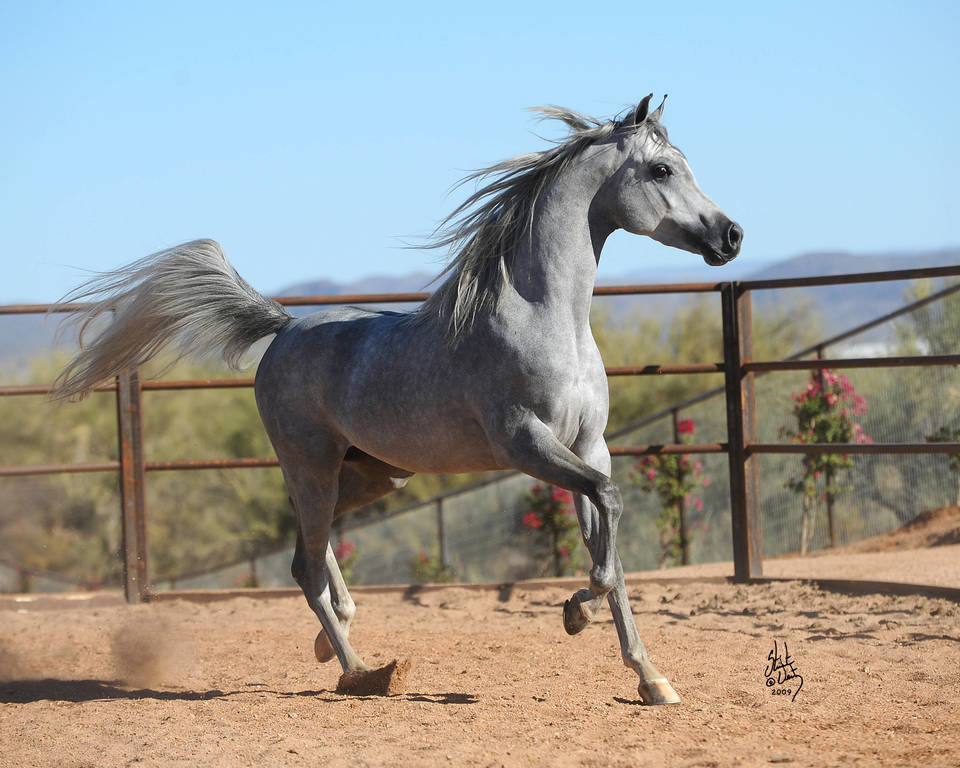 Al Nakeel SWF as a two-year-old