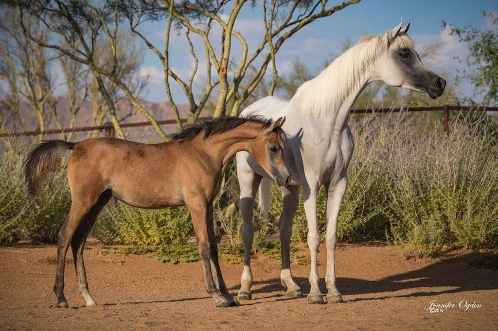 Lolah El Javier and her colt AJS Alicante by JA Urbino