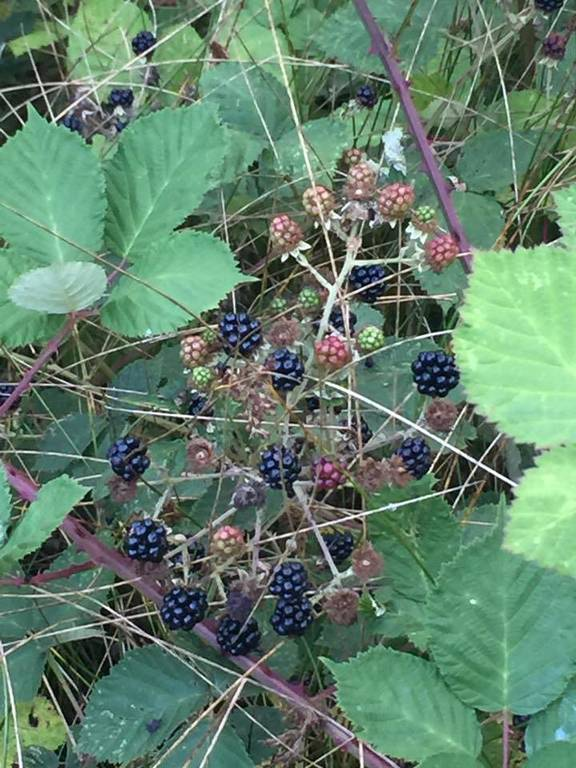 Fresh black berry picking, yum!