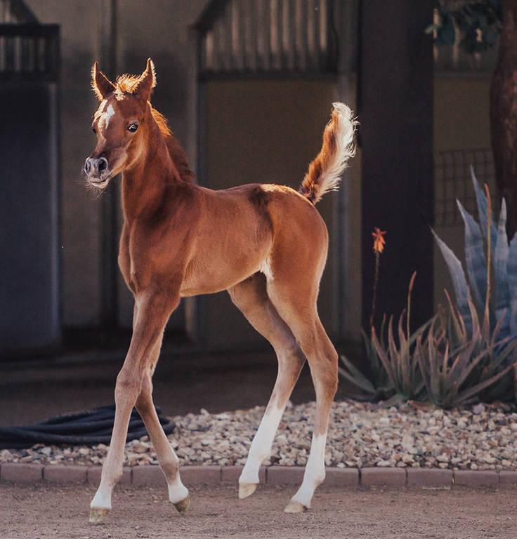 Kaeden Al Khalif SWF at two weeks of age
