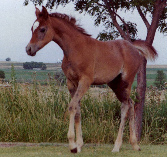 Vona as a young filly