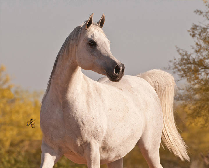 Arabian horses of stonewall farm - Arabian horse pictures ...