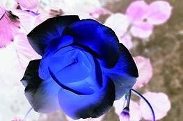 Blue_rose_3