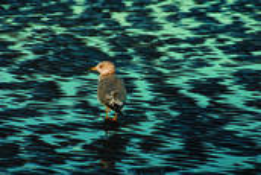 Lone_gull