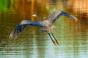 Great_blue_heron_in_flight_2