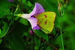 Butterfly__7