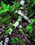 Fallen_birch_tree