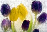 Ice_tulips