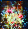 Indian_paintbrush