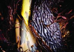 Kelp_abstract_1