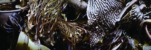 Kelp_cluster