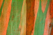 Eucalyptus_bark_1