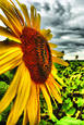 The_sunflower