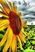 The_sunflower