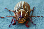Beetle_1