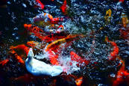 Like_a_swan