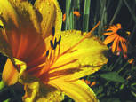 Daylily
