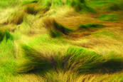 Marsh_grasses